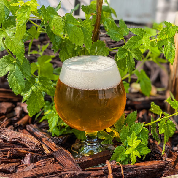 Picture of Double IPA in front of a hop plant